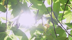 Beauty of sunshine through the green leaves of the tree. stock video