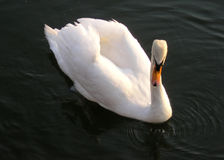 Beauty of swan. A swimming swan at sunset in Hamilton Bay Lake Ontario. Very noticeable is the dirty white color of the swan head and neck. It is result of the Royalty Free Stock Photos