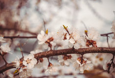 Beauty and the tenderness of first spring flowers. Blooming apricot orchard Stock Photos