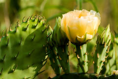 Beauty Among the Thorns. Perfect prickly pear blossom surrounded by thorns Stock Images