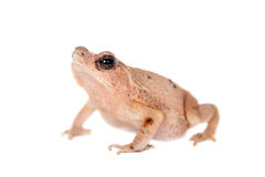 Beauty toad on white Stock Photo