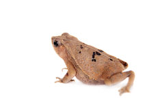 Beauty toad on white Stock Photos