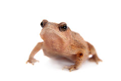 Beauty toad on white Royalty Free Stock Photo