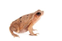 Beauty toad on white Stock Photography