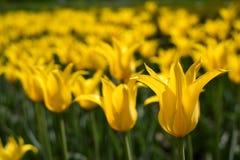 Beauty tulip flower Stock Photos