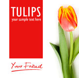 Beauty tulip and  text Stock Photography