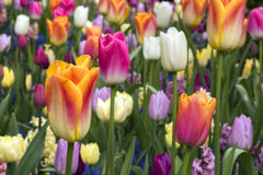 Beauty Tulips colored in Holland Stock Photos