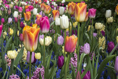 Beauty Tulips colored in Holland Stock Images
