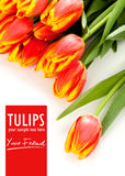 Beauty tulips and isolated text Stock Photos