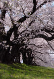 Beauty tunnel 2. Interesting perspective under a cherry trees row in blossom-Ogawara,Japan Royalty Free Stock Images