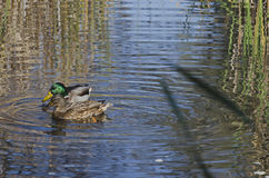 Beauty two mallard ducks. Swimming on pond Royalty Free Stock Photos