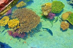 Bright colors of corals. Eilat. Israel royalty free stock images