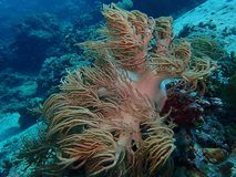 The beauty of underwater world in Sabah, Borneo. royalty free stock photo