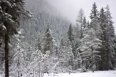 The firs in the forest covered by snow while the snow still falls. The beauty of the Veneto mountains, the Dolomites during the winter Royalty Free Stock Photography