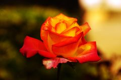 The Beauty of vibrant rose. Royalty Free Stock Image