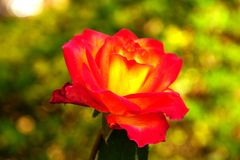 The Beauty of vibrant rose. Stock Image