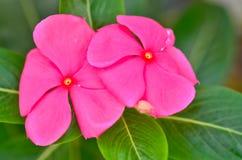 The beauty Vinca flower Stock Images