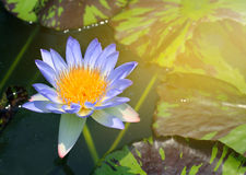 Beauty water lilly flower.Pink Lotus. Stock Photography