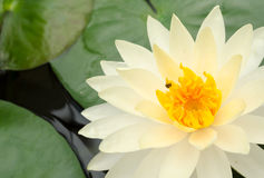 Beauty of Water Lily in the pond Stock Images
