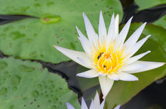Beauty of Water Lily in the pond Royalty Free Stock Photos
