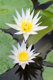 Beauty of Water Lily in the pond Stock Photo