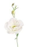 Beauty white flower. Eustoma Royalty Free Stock Photo