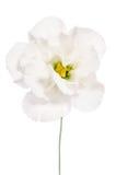 Beauty white flower. Eustoma Stock Photo