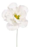 Beauty white flower. Eustoma Royalty Free Stock Image