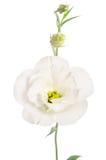 Beauty white flower. Eustoma Royalty Free Stock Images