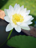 Beauty white lotus in background blur. Beauty white lotus in marsh background blur,thai Royalty Free Stock Photos