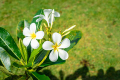 Beauty White Plumeria bloom on the tree Royalty Free Stock Photography