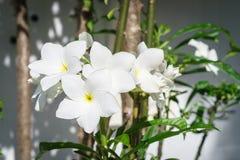 Beauty White Plumeria Pudica bloom on the tree Stock Photos