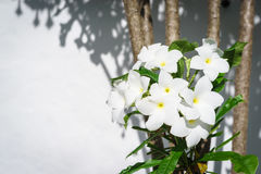 Beauty White Plumeria Pudica bloom on the tree Stock Images