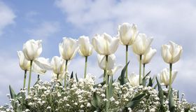 Beauty of white tulips royalty free stock images