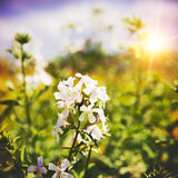 Beauty wild flower on the meadow Royalty Free Stock Photo