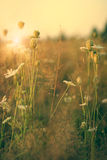Beauty wild flowers on the meadow Royalty Free Stock Photography
