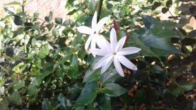 Beauty of wild Jasmine flower royalty free stock image