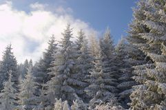 The beauty of winter landscapes. Evergreen trees covered with snow and sunny. Stock Image