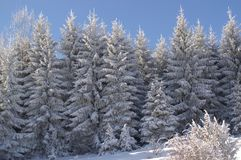 The beauty of winter landscapes. Evergreen trees covered with snow and sunny. Royalty Free Stock Photography