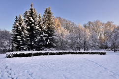 Beauty of winter nature in snowy park at sunset. The sun`s rays painted the snow covered trees in golden color - beautiful winter landscape Stock Photo