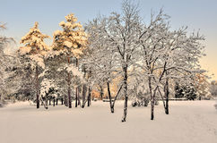 Beauty of winter nature in snowy park at sunset. The sun`s rays painted the tops of the snow covered pines in golden color - beautiful winter landscape Royalty Free Stock Photos
