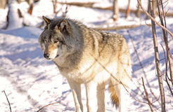Beauty wolf Royalty Free Stock Photo