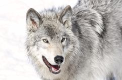 Beauty wolf. Gray wolf in nature during winter Stock Photos