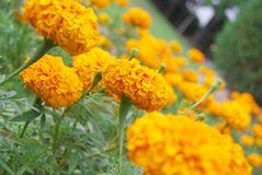 Beauty yellow flower Royalty Free Stock Images