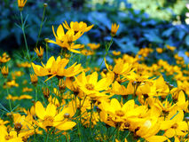 Beauty yellow flowers. A beautiful yellow flowers background in summer Royalty Free Stock Image