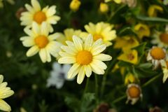 Beauty yellow marguerite daisy flowers royalty free stock images