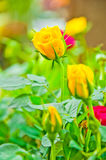 Beauty Yellow Rose Flower Early Morning Stock Photography