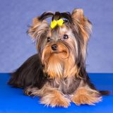 Beauty Yorkshire Terrier lying Royalty Free Stock Image
