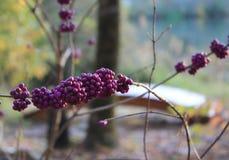 Beautyberry紫色莓果 免版税库存照片