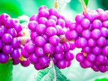 Beautyberry stockfoto